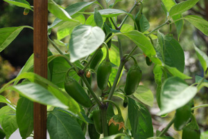 Hot Pepper Varieties—'Early Jalapeno'