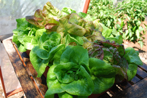 Growing Lettuce—'Matchless'