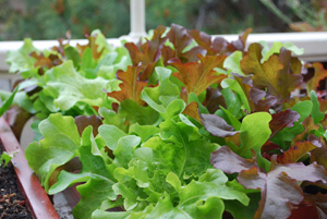 Lettuce Varieties—Red and Green Oakleaf