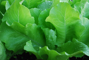 Growing Lettuce—'Santoro'