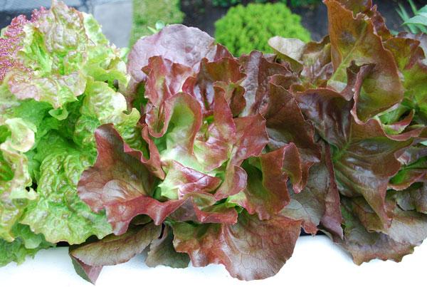 Lettuce Varieties Types Of Lettuce Varieties Of Lettuce