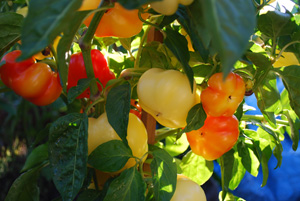 Growing Peppers—'Alma' 1