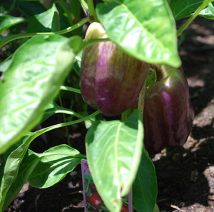Bell Pepper Varieties—'Islander'
