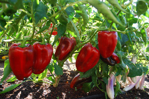 Pepper Varieties—'European Red Bell'