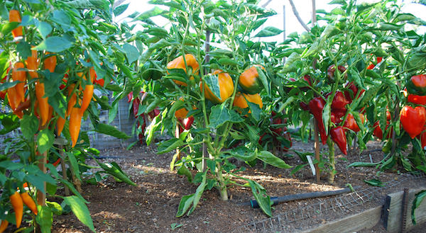 Growing peppers how to grow peppers growing bell peppers for How to plant a small vegetable garden