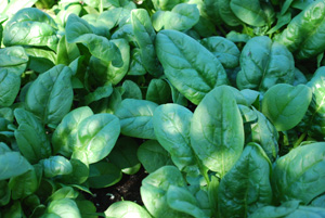Growing Spinach—'Nobel'