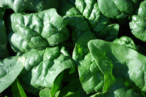 Spinach Varieties—'Regiment'