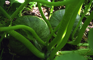 Growing Squash—'Kabocha'