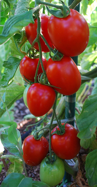 Tomato Varieties—'Enchantment' on the Vine
