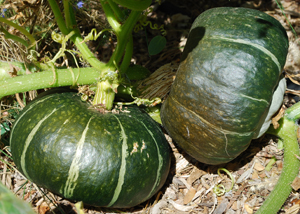Harvesting Buttercup (Kabocha) Winter Squash:  The Squash on the Right is Ready to Harvest, the Squash on the Left is Still Growing