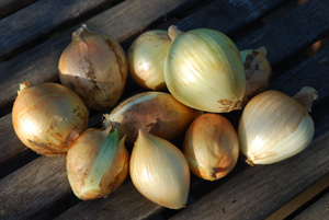 Onions 'Sweet Yellow Granex'