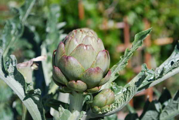 Harvest Artichokes While the Scales are Still Tight to the Bud