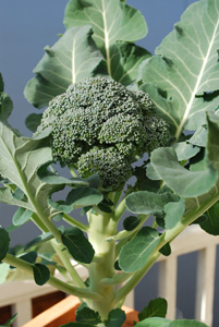 Harvesting Broccoli 1a