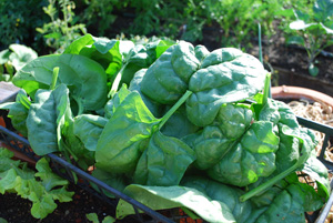 Harvesting Spinach—'Regiment'