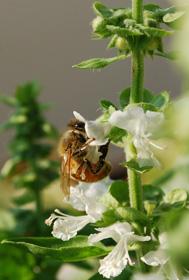 Honeybee Imbibing from a Basil Flower