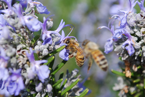 Honeybees Visiting Rosemary Flowers