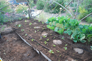 Lettuce and Spinach Interplanted with Chiles Initial 1
