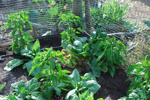 Harvest Lettuces and Spinach Promptly When Mature