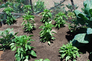 Lettuce and Spinach Interplanted with Chiles 7