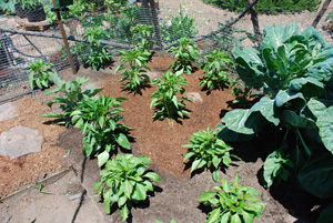 Lettuce and Spinach Interplanted with Chiles 8