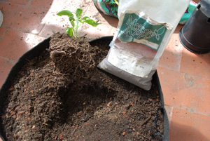 Inoculate the Jalapeno Plant with Endomycorrhizae