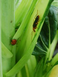 Ladybug and Leatherback Beetle probe for Aphids