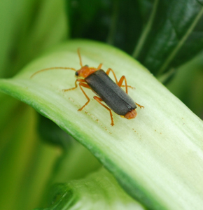 Soldier  Beetles are Voracious Aphid Predators