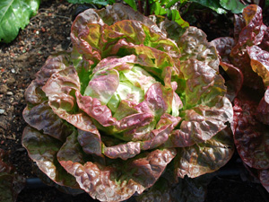 Growing Lettuce—'Blushed Butterhead'