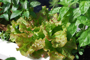 Growing Lettuce—'Drunken Woman Frizzy Headed'