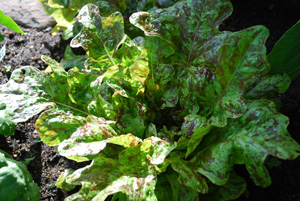 Lettuce Varieties—'Flashy Butter Oak'