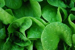 'Garden Babies' Butterhead Lettuce in a SaladScape