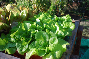 Lettuce Varieties—'Tom Thumb'