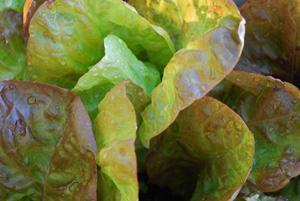 Growing Lettuce—'Merveille des Quatre Saisons', a.k.a 'Continuity'