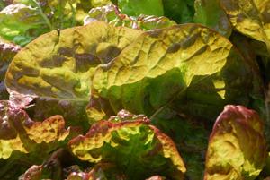 Lettuce Leaves Catch the Slanting Fall Light