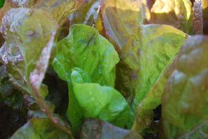 Lettuce 'Mervielles de quatre Saison', a.k.a., 'Continuity' 3