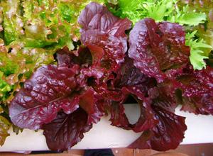 Leaf Lettuce Varieties—'Red Salad Bowl' Growing in a Window Box