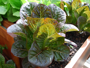 'Breen', a Baby Red Romaine Lettuce Variety
