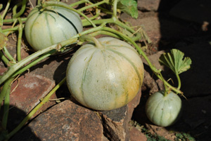'Charentais' Melons, a Good Choice for Cool-Summer Gardens