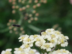 Parasitoid Wasps Come in for a Landing