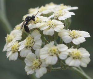 Parasitic Wasp on Achillea