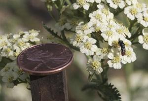 Parasitoid Wasp on <em>Achillea</em>—Size Comparison with Penny