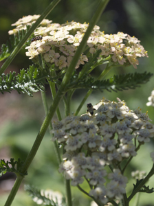 Parasitoid Wasps on <em>Achillea</em>