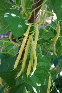 'Goldmarie' Pole Beans on the Vine
