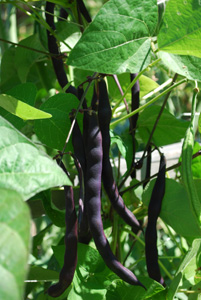 'Purple Pod' Pole Beans on the Vine