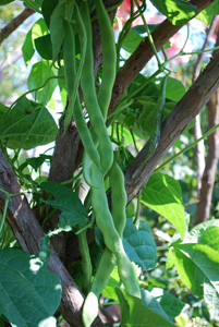 'Spanish Musica', a.k.a. 'Spanish Miralda' Green Beans on the Vine