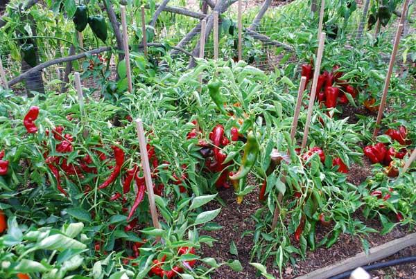 2012 Pepper Bed Just Before Harvest