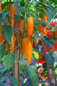 Growing Hot Peppers—'Bulgarian Carrot' 1