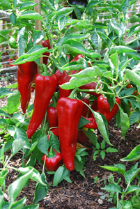 'Carmen' Bull's Horn (Corno di Toro) Pepper