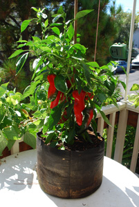 'Carmen' Bull's Horn Pepper Growing in a 5-gallon Smart Pot