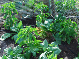 Spinach and Lettuce Interplanted with Chiles